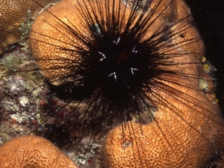 Long-spined black urchin-Dominica