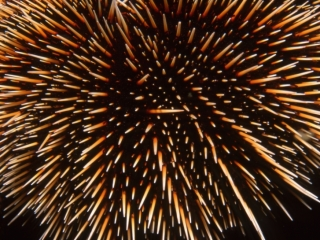 Pin Cushion sea urchin-Galapagos