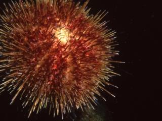Red urchin-HMCS MacKenzie, Vancouver Island