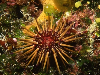 Reef urchin-Grand Cayman Island