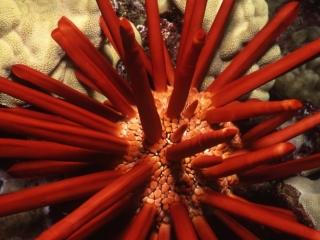 Slate pencil urchin-Molokini Crater, Maui
