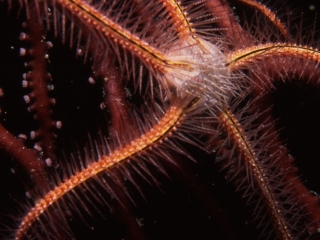 Sponge brittle star on Deepwater lace fan-Bequia, Grenadines
