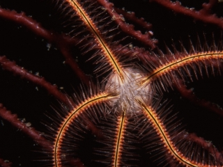 Sponge brittle star on Deepwater lace fan-Bequia