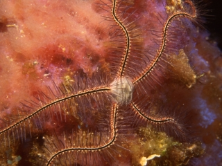 Sponge brittle star on Iridescent sponge-Grand Cayman Island