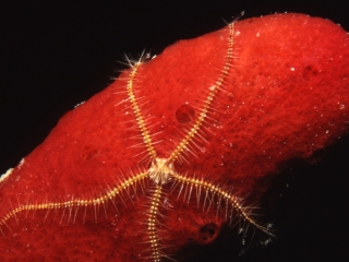 Sponge brittle star on Red rope sponge-Belize