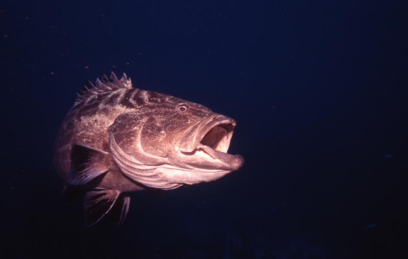 Black grouper with mouth open-Belize