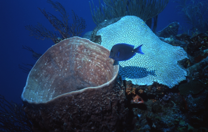 Blue tang by Barrel sponge and Brain coral-Saba