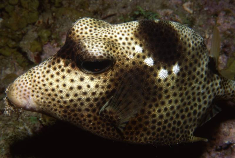 Spotted trunkfish-St. Kitts