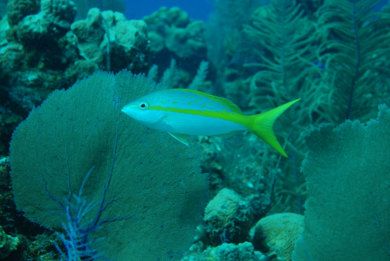 Yellowtail snapper (dig)-Belize