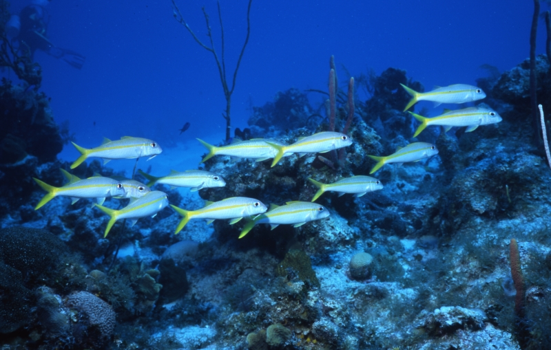 Yellowtail snappers-Provo, Turks & Caicos