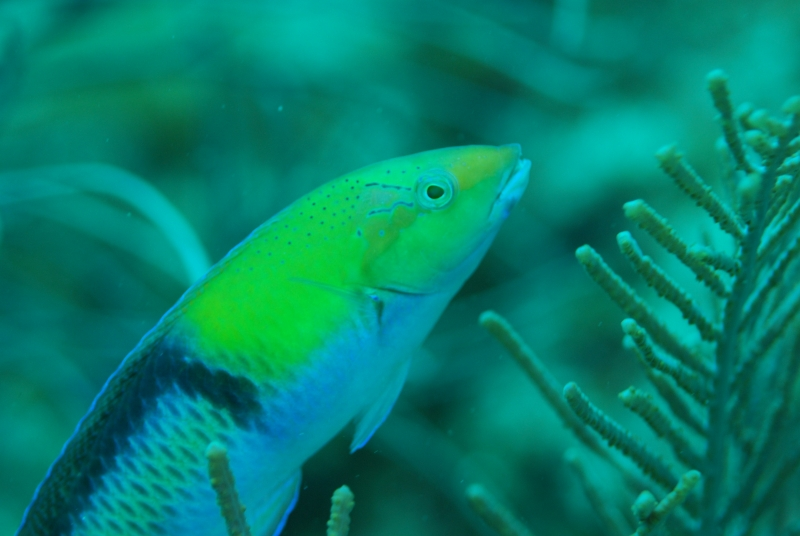 Yellowtail wrasse (dig)-Belize