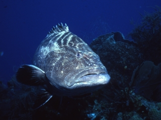 Black grouper-Belize