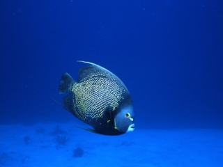 French angelfish-Isle of Youth, Cuba