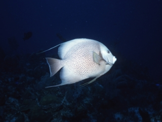 Gray Angelfish-Provo, Turks & Caicos