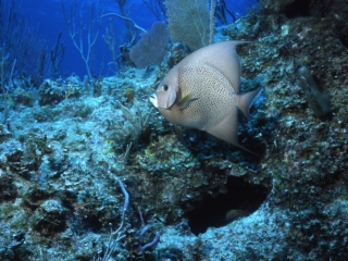 Gray angelfish-Exumas, Bahamas