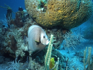 Gray angelfish by large sponge-Exumas, Bahamas
