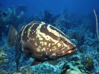 Nassau grouper-Little Cayman Island
