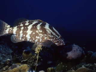 Nassau grouper-Little Cayman