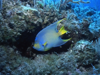 Queen angelfish-Exumas, Bahamas