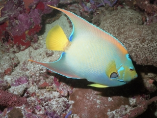 Queen angelfish-Tobago