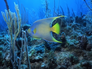 Queen angelfish over reef-Exumas