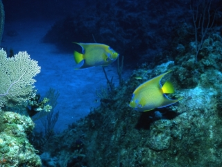 Queen angelfish passing each other-Exumas