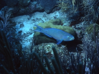 Queen parrotfish, supermale phase-Aruba