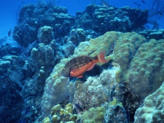 Stoplight parrotfish-Little Cayman