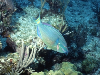 Stoplight parrotfish, terminal male phase-New Providence Island