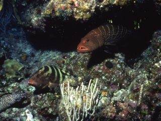 Tiger & Nassau groupers, & Spotted moray eel-Little Cayman Island