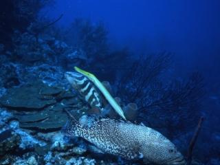 Trumpetfish, Tiger & Nassau groupers-Provo