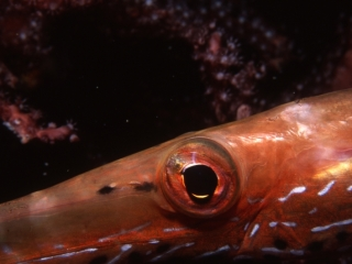 Trumpetfish eye-Bequia