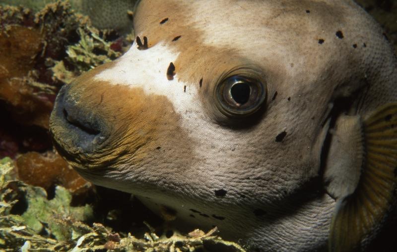 Black-spotted puffer-Truk Lagoon