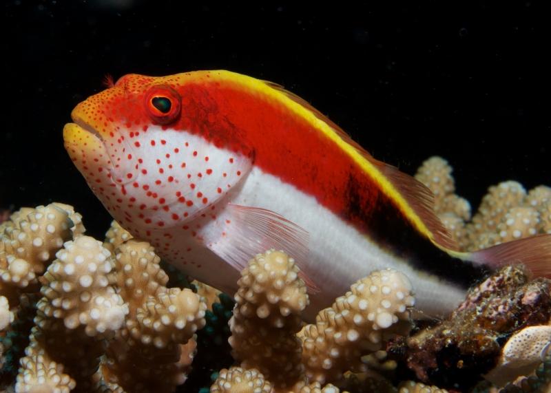 Blackside hawkfish (dig)-Fiji
