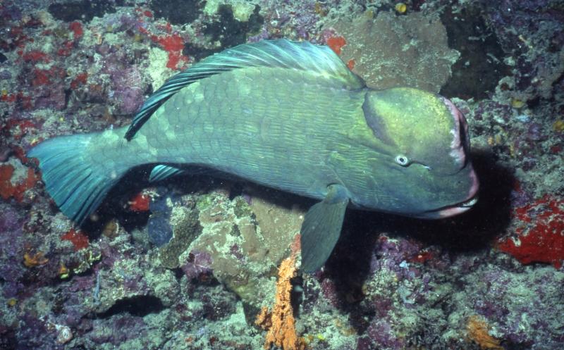 Bumphead parrotfish-Sipadan Island, Borneo