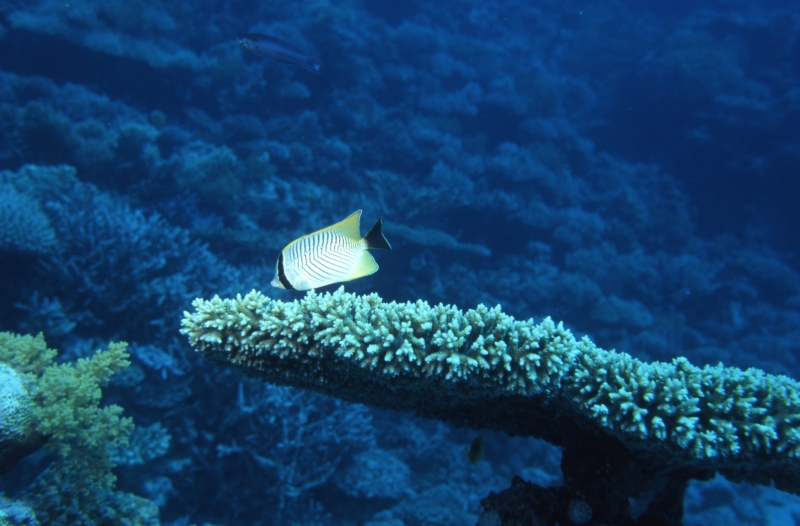 Chevroned butterflyfish-Red Sea