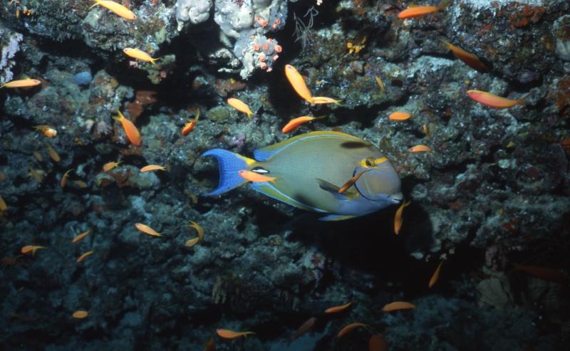 Dussumier's surgeonfish & Scalefin anthias-Maldives