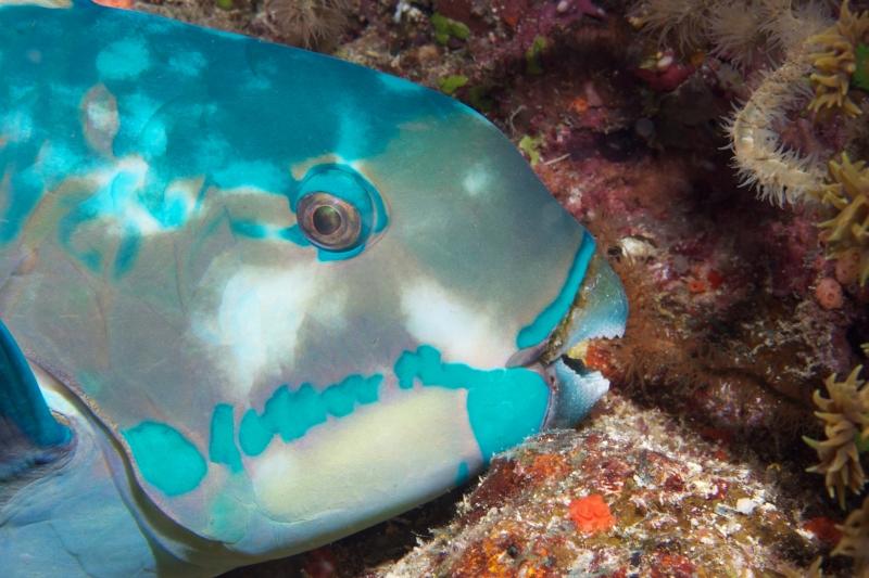 Ember parrotfish (dig)-Fiji