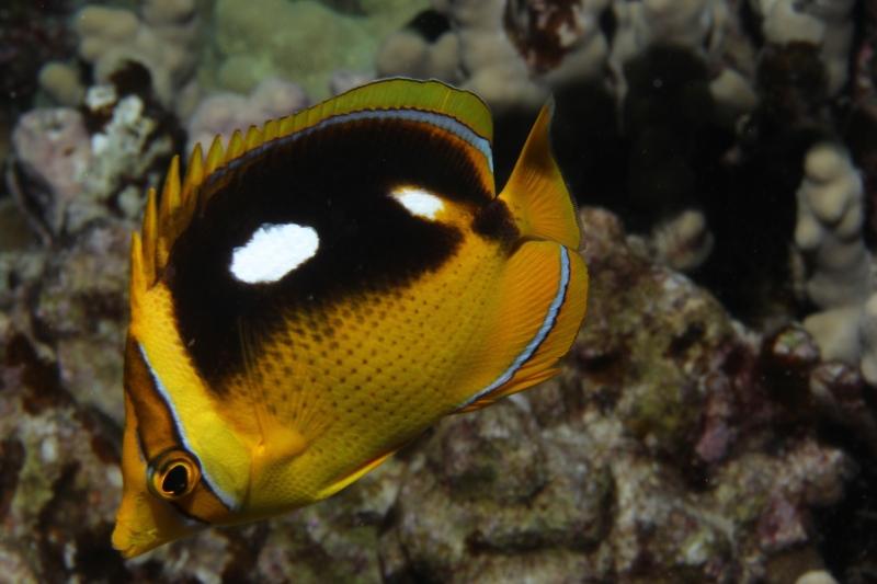 Fourspot butterflyfish (dig)-Kona, Hawaii