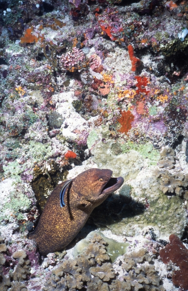 Giant moray eel & Cleaner wrasse-Maldives