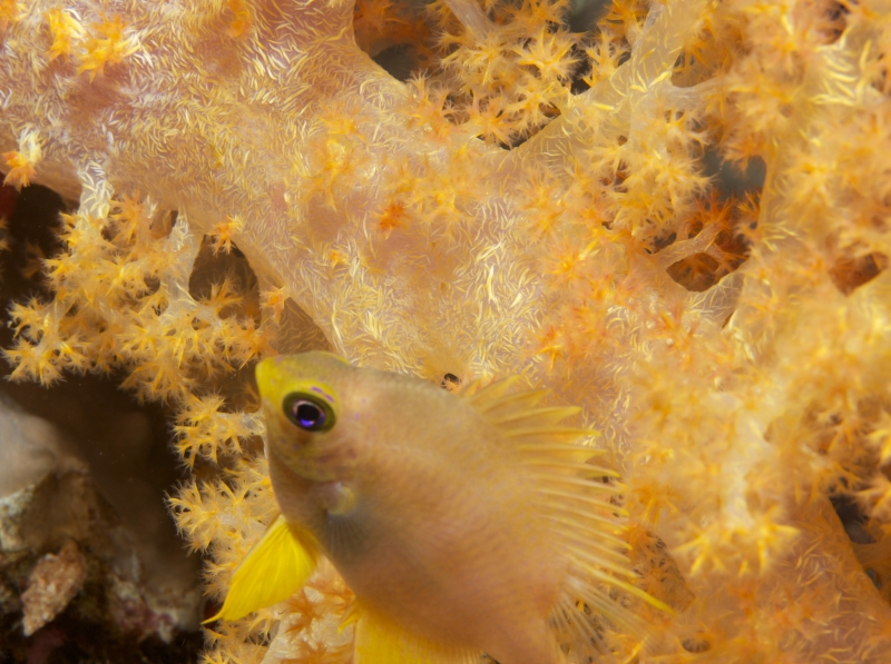 Golden sergeant & Bladed soft coral (dig)-Fiji