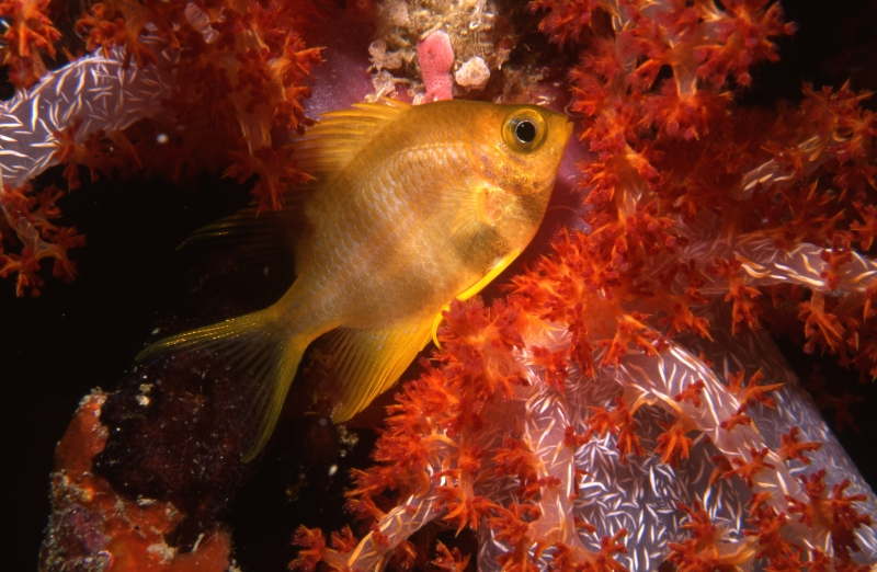 Golden sergeant in Bladed soft coral-Similan Islands, Thailand