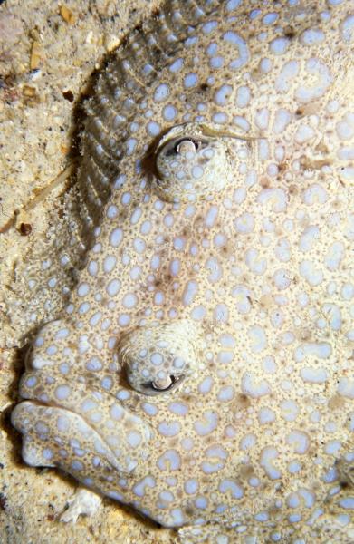 Left-eyed spotted flounder-Cocos Island