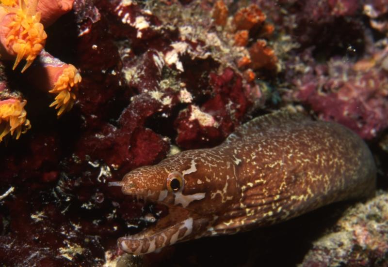 Leopard moray eel-Mali Atoll, Maldives