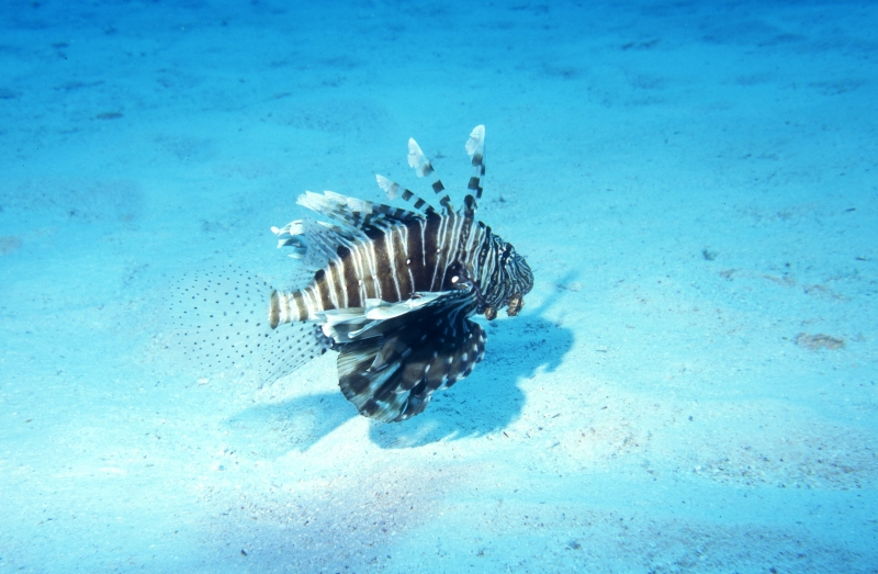 Lionfish over sand-Red Sea