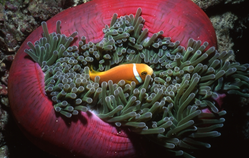 Maldive's anemonefish in anemone with retracting tentacles-Maldives