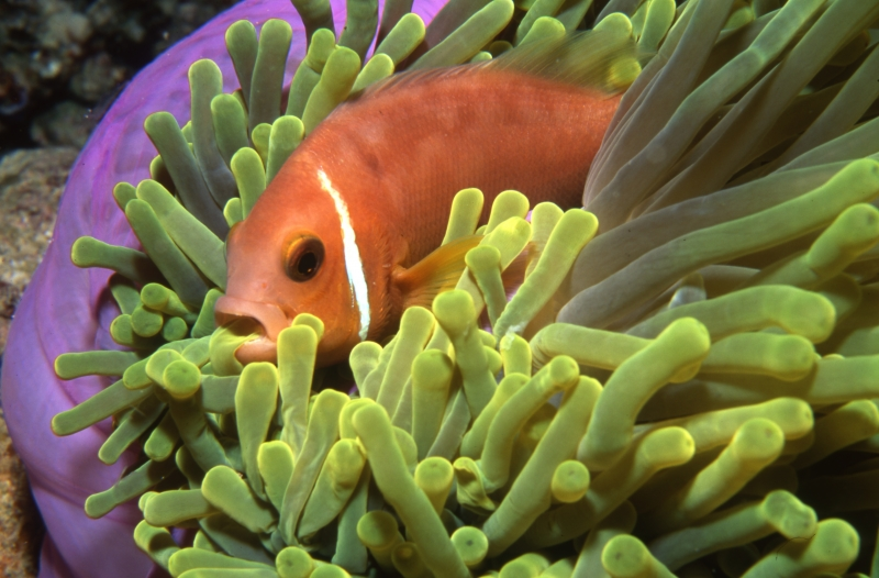 Maldive's anemonefish with tentacle in mouth