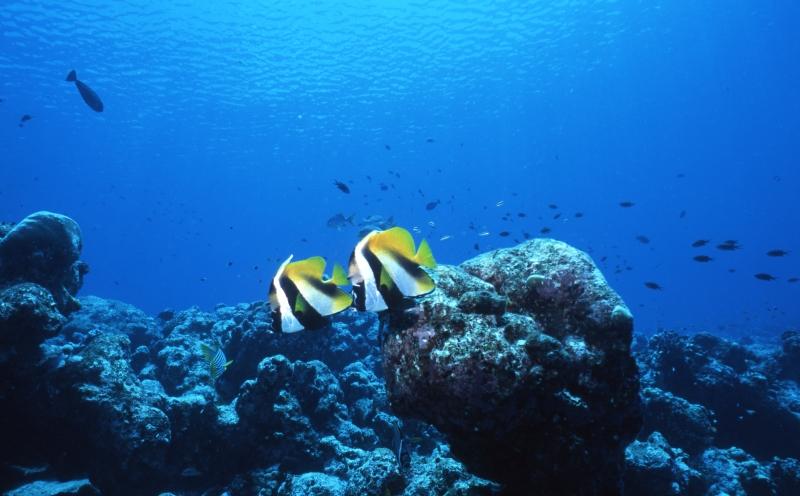Masked bannerfishes-Maldives