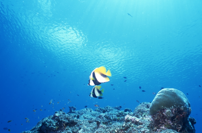 Masked bannerfishes over reef-Maldives