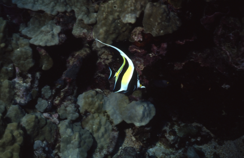 Moorish idol-Kona, Hawaii